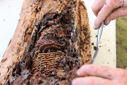 A hive of native australian stingless bees in a log